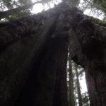 Redwoods Avenue of the Giants