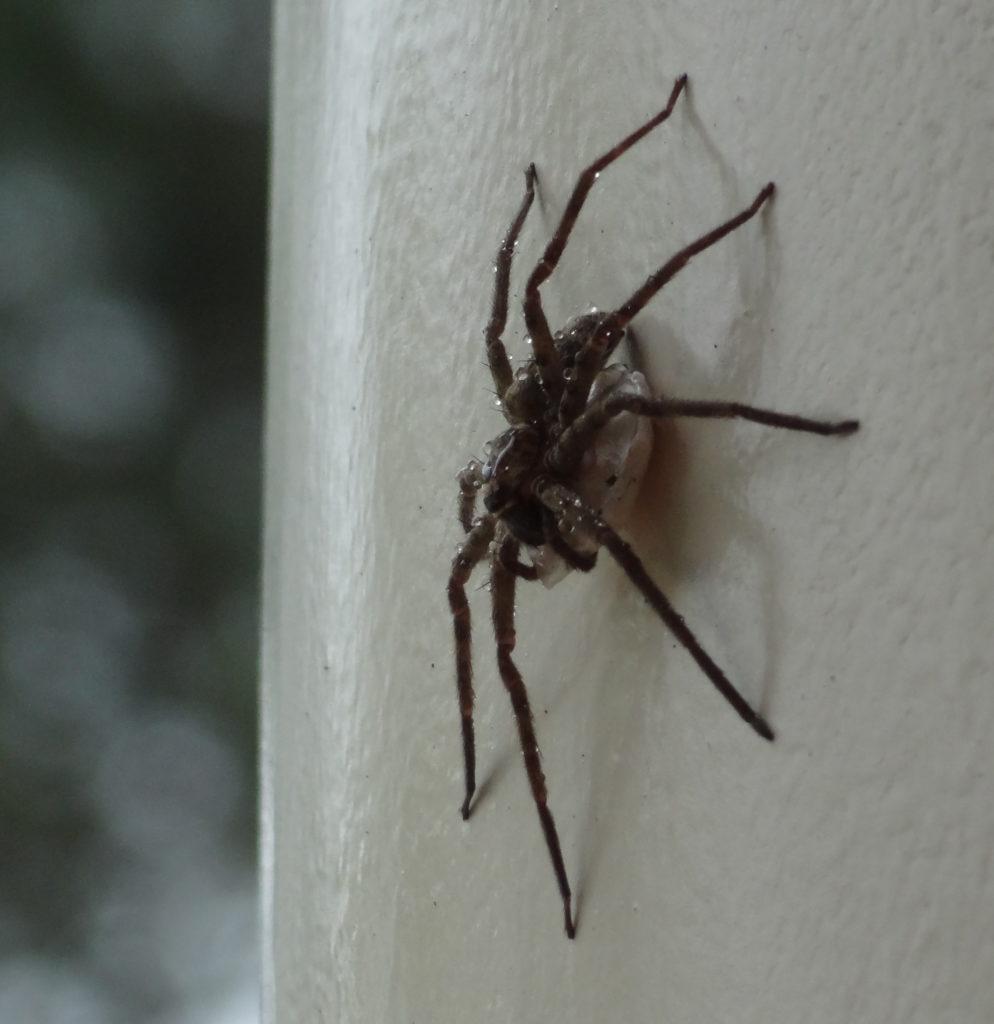 Banshu-ako spider